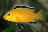 Labidochromis Caeruleus / Electric Yellow
